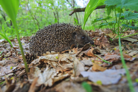 cute young european hedgehog among the dry leaves,mammals, predator prickly animal complex, nocturnal animal, the animal with needles