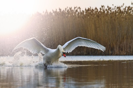 white swan ready to fly from the lake,love, fidelity symbol, a symbol of purity, atah white, white feathers, wildlife, help, natural beauty, flight