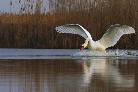 heavy white bird preparing to take off,love, fidelity symbol, a symbol of purity, atah white, white feathers, wildlife, help, natural beauty, flight Stock Photo