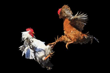 Cockfight iisolated op zwart, symbool, het conflict, gevogelte, uniek moment kippen oppositie