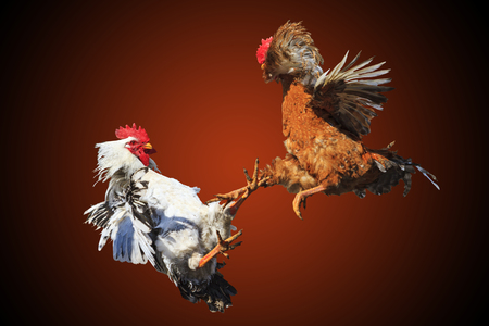 Rooster fight iisolated on black and red,symbol, the conflict, poultry, unique moment, chickens, opposition