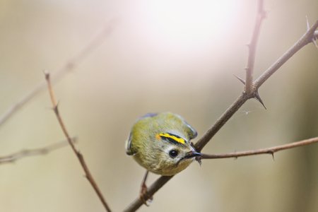 Goldcrest - with cute muzzle sitting on a branch Stock Photo
