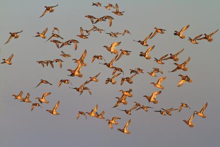 Garganey flock in flight illuminated by the sun rising,wildlife birds