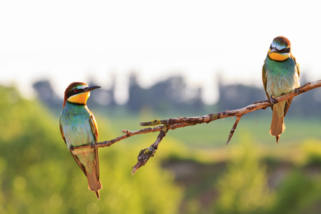 attachment: bee eaters sitting on a dry branch and beautiful light,wildlife birds Stock Photo