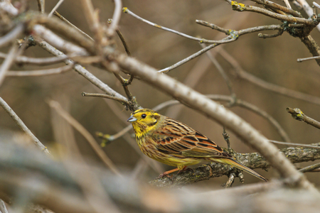 Yellowhammer among thick branches sing a song,wildlife birds
