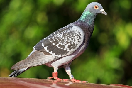 mail sport pigeon with rings on the legs,dowe
