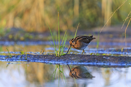 snipe on the lake with a reflection in water,woodcock