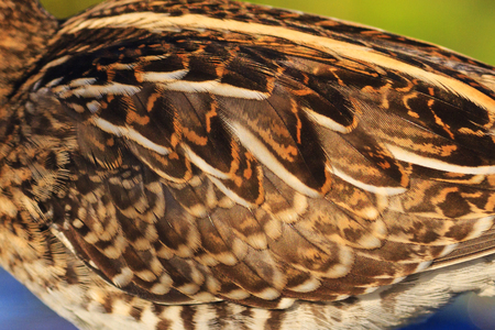 Natural camouflage snipe bird wing,woodcock