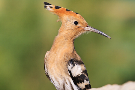 hotbed: hoopoe turn right on the head,exclusive bird