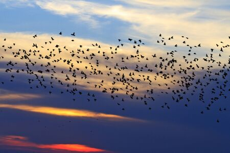 starlings flying in the sky warm evening,migration