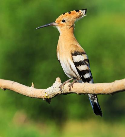 hoopoe as a symbol Religious beliefs,exclusive bird
