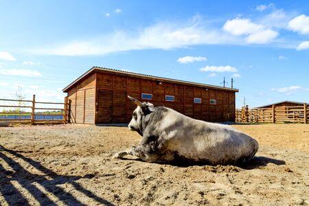 breeding bull lying in the fence Foto de archivo