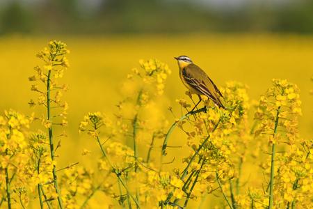 Aves silvestres en el campo de colza amarillo con flores amarillas Foto de archivo - 78813912