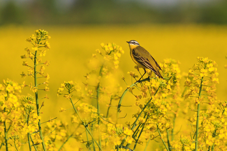 wild bird on yellow rapeseed field with yellow flowers 版權商用圖片 - 78813912