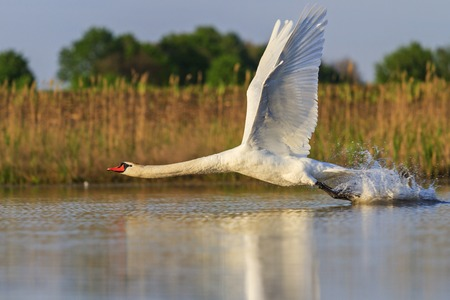 intentional: incredible speed Flying Swan Stock Photo