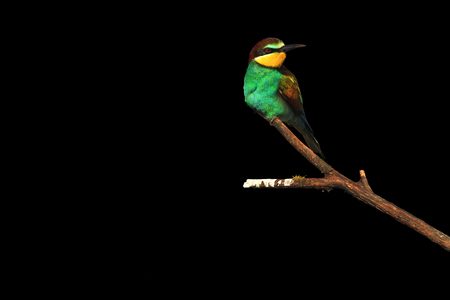 European bee-eaters sitting on a branch on a black background.wild bird
