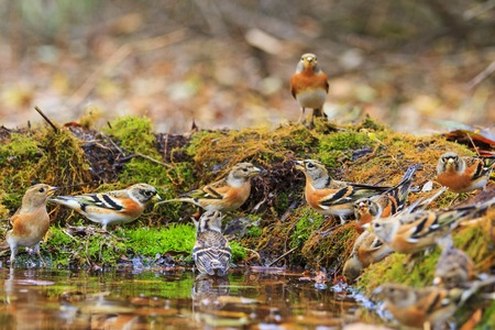Wild birds among autumn fallen leaves,Wildlife, autumn day, brambling, fringilla montifringilla
