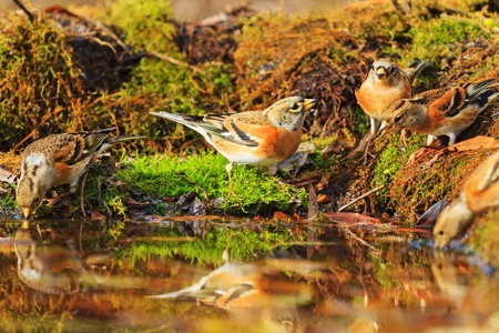 dona: Forest birds among autumn fallen leaves,Wildlife, autumn day, brambling, fringilla montifringilla Foto de archivo