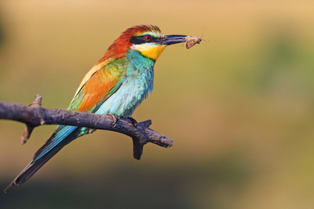 bird that hunts insects and bees,Wildlife, animals Stock Photo