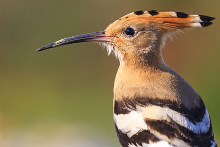 hoopoe portrait of wild birds,wildlife Creative photos