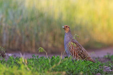 Gray partridge in the summer in the midst of lush greenery,wildlife Stock Photo