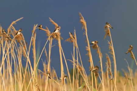 Sand martin sits on a reed,wildlife Singing birds fly at dusk