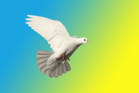 White pigeon in the background of Swedish colors creativity, symbols and signs