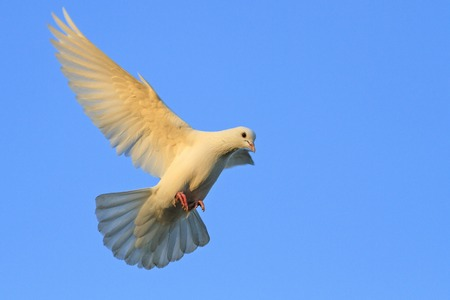 Symbol Of Purity And Love Of Two White Pigeons Bird Of Peace
