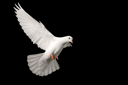 White pigeon flying isolated on black background , bird of peace, religious symbolism Stok Fotoğraf