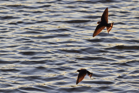 waterscapes: pair of swallows catch insects over water , wildlife Stock Photo