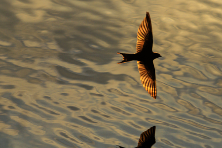 waterscapes: bird with golden wings flying over water , wildlife Stock Photo