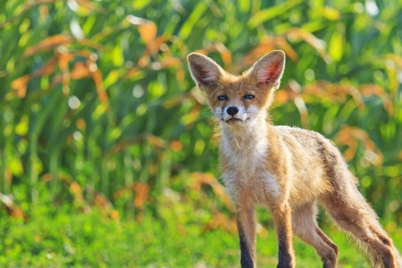 young fox with a smile on the face , wild nature