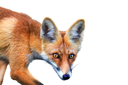 red fox on a white background , Isolated object