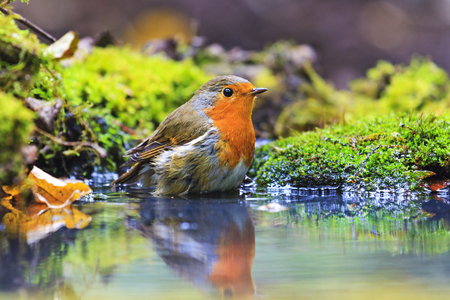 robin with drops of water on the feathers in Forest Lake Stock Photo