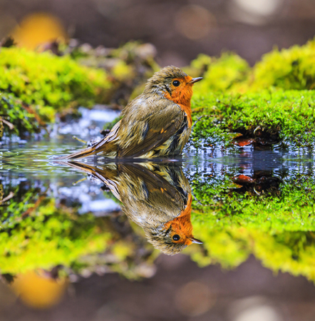 Robin and his reflection in the water