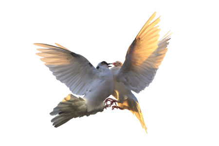 white doves are fighting in flight