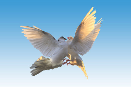 two white pigeons fighting in the air