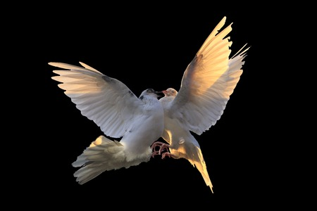 white pigeons are struggling in flight on a black background Stock Photo