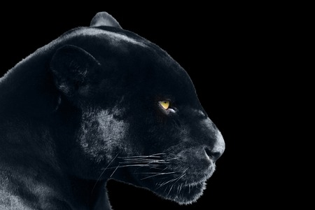 Black jaguar on a black background Stock fotó