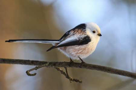 small bird with a long tail Stock Photo