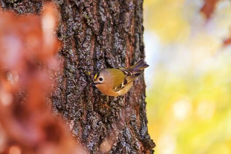 Goldcrest on a tree trunk of bright colors