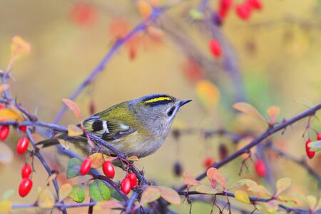 Singing forest bird among red berries Stock Photo