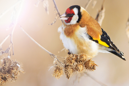 Wild colored bird in the winters morning sits on a dry stem