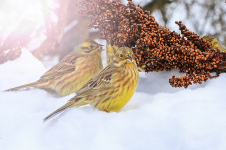 he: Yellowhammer of snow looking for food to survive with sunny hotspot , wildlife, winter survival, cold and frost