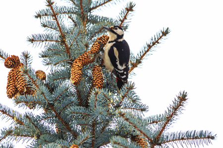 woodpecker sits on Christmas trees with cones