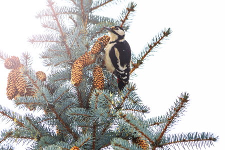 woodpecker sits on Christmas trees with cones with sunny hotspot Stock Photo