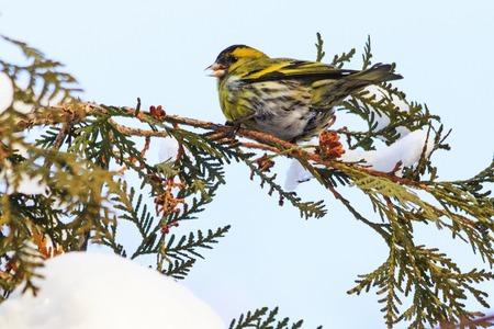 siskin sits on a snowy branch in winter, winter, wildlife, birds