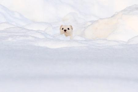 하얀 눈, 겨울, 동물에서 보이는 흰 동물 스톡 콘텐츠