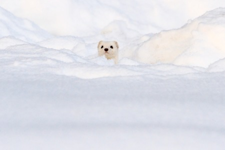 white animal looks out of white snow, winter, animals