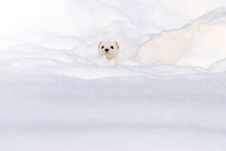 White least weasel looks like white snow, winter, animals